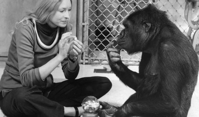 koko le gorille qui parle avant-scène cinéma 617 king kong dossier des singes et des hommes
