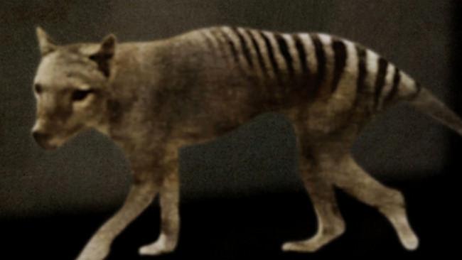 Le tigre de Tasmanie de Vergine Keaton